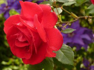 rose-7634-e1347113611973