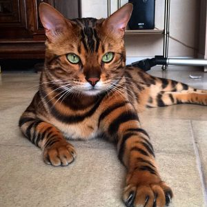 bengal-cat-spots-fur-thor-5