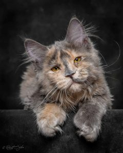 maine-coon-cat-photography-robert-sijka-23-57ad8ee420bcb__880-819x1024