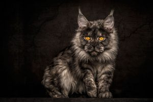 maine-coon-cat-photography-robert-sijka-44-57ad8f07a5108__880