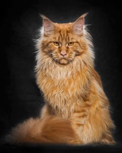 maine-coon-cat-photography-robert-sijka-51-57ad8f13b7436__880-819x1024