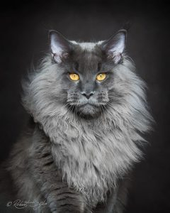 maine-coon-cat-photography-robert-sijka-64-57ad8f2c0277c__880-819x1024