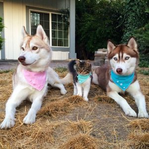 rosie-cat-grows-up-husky-mother-lilo-14