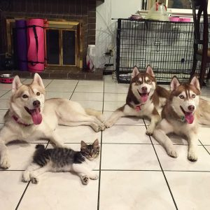 rosie-cat-grows-up-husky-mother-lilo-6